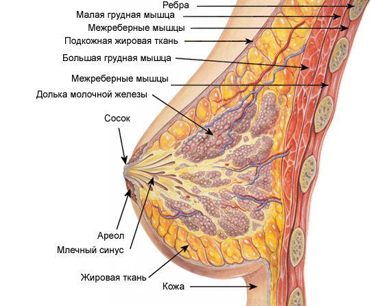 Что такое грудь?