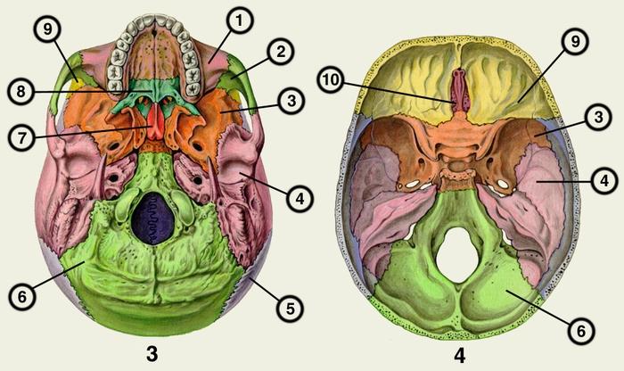 Рис. 3, 4. Череп человека (рис. 3 — наружная поверхность и рис. 4 — внутренняя поверхность основания черепа). 1 — верхняя челюсть; кости: 2 — скуловая; 3 — клиновидная; 4 — височная; 5 — теменная; 6 — затылочная; 7 — сошник; 8 — небная; 9 — лобная; 10 — решетчатая.