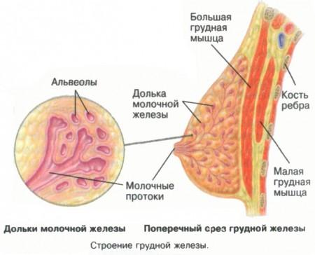Строение грудной железы
