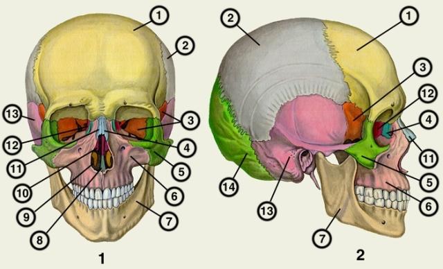 Рис. 1, 2. Череп человека (рис. 1 — вид спереди, рис. 2 — вид сбоку). Кости:1 — лобная; 2 — теменная; 3 — клиновидная; 4 — слезная; 5 — скуловая. Челюсти: 6 — верхняя; 7 — нижняя; 8 — сошник; 9 — нижняя раковина носа. Косточки: 10, 12 — решетчатая; 11 — носовая; 13 — височная; 14 — затылочная.