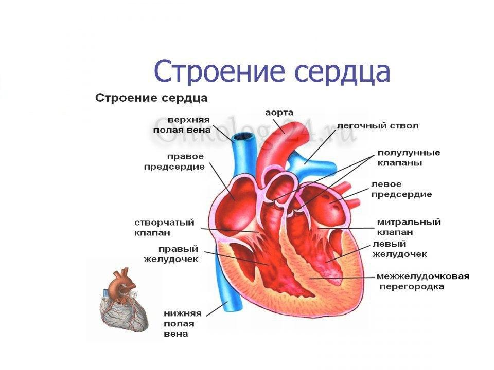 Na foto predstavleno stroyeniye serdtsa cheloveka