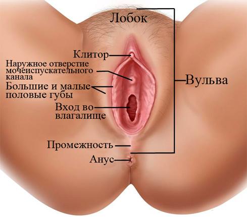 Анатомия вульвы